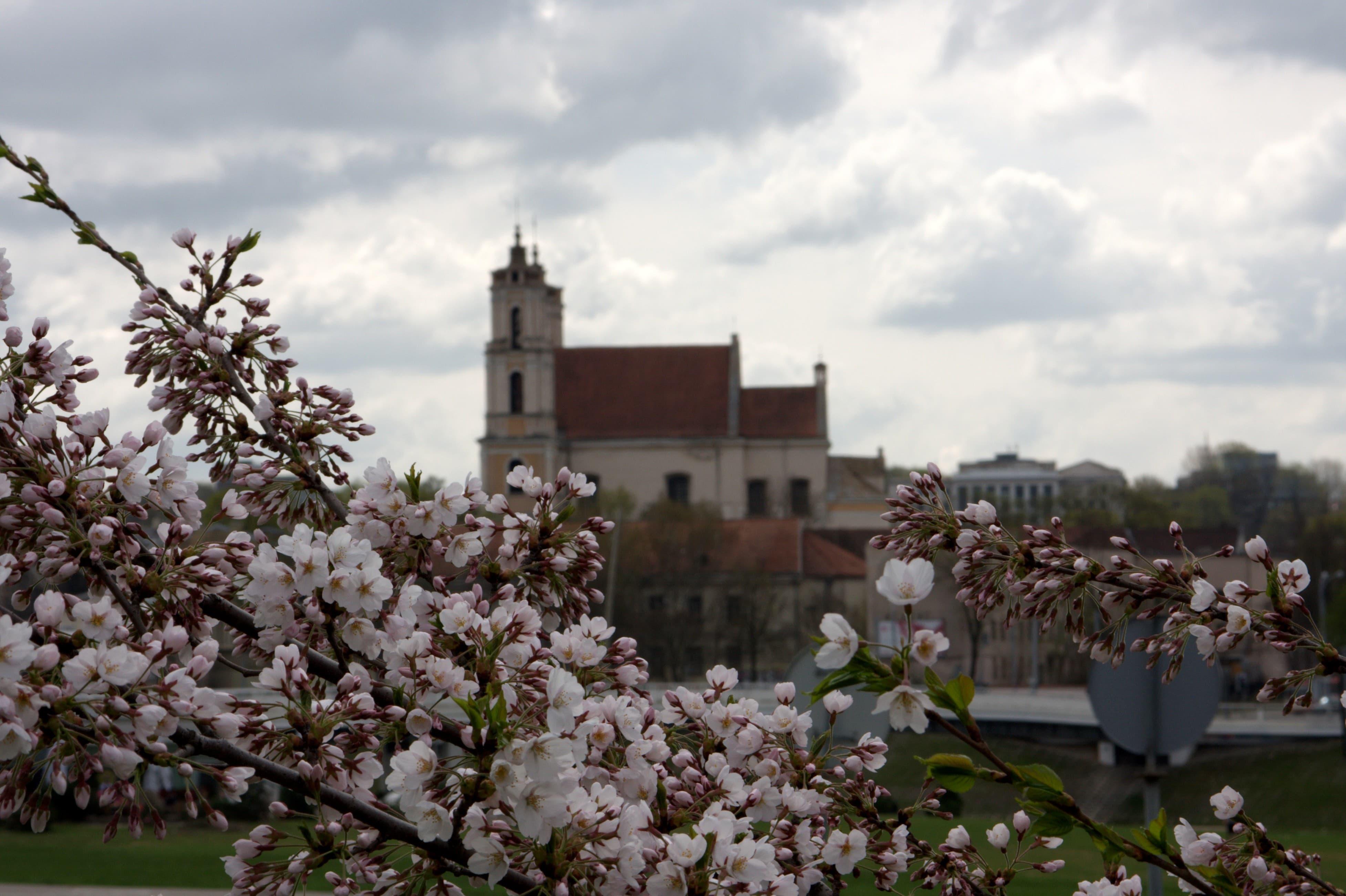 Spring bloom in Vilnius